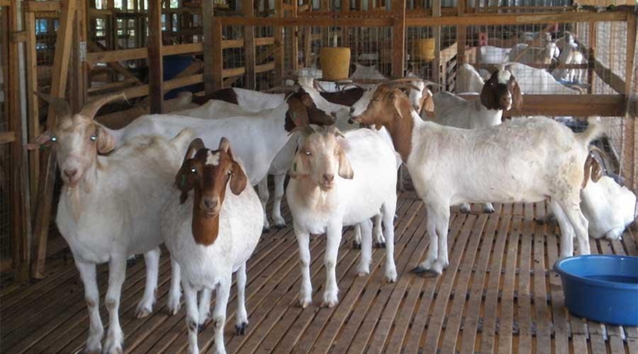 peluang usaha ternak
